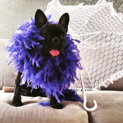 Today it is all about me :) Fab_frenchies Frenchie Frenchbulldog Feathers Princess Maya Instamood Froggy Instapic Like4like Love