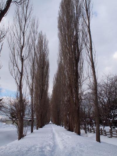 ポプラ並木はやっぱり紅葉の時期だなぁ~ Poplar Poplar Tree Poplar Tree-lined Hokkaido Hokkaido,Japan ポプラ ポプラ並木 北海道