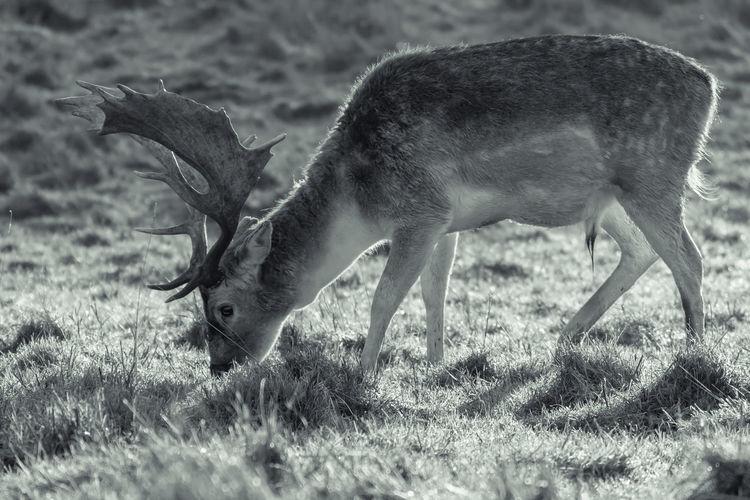 Deer eating grass on field