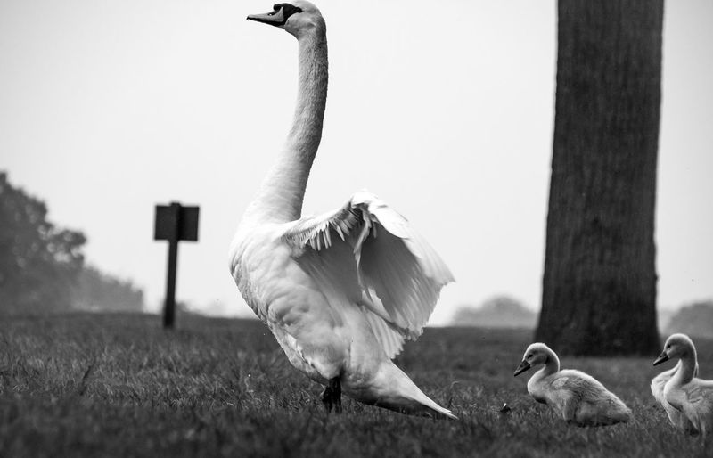 Stand tall Blackandwhite Cygnet Richmond Park, London Cygnets Bird Vertebrate Animal Themes Animal Animal Wildlife Animals In The Wild Day Group Of Animals Nature Animal Neck Land