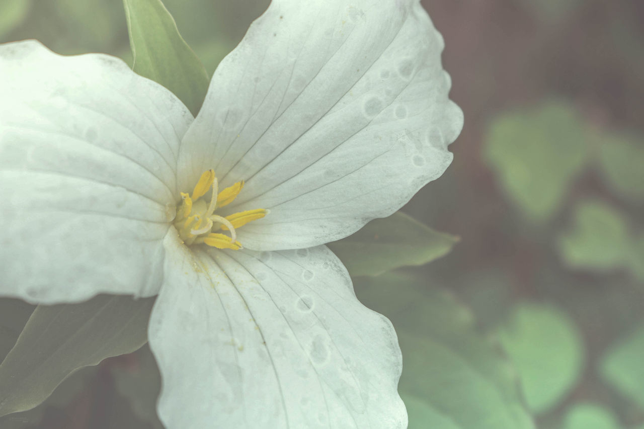 flower, beauty in nature, flowering plant, vulnerability, fragility, petal, freshness, plant, flower head, inflorescence, growth, close-up, white color, focus on foreground, nature, no people, pollen, day, outdoors, raindrop