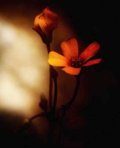 🌺STILLE BLÜTE🌺 Im Tagebuch des Herzens / Sind Zeilen um Zeilen verfasst / Die nie geschrieben worden / Mit dem Auge sichtbarer Tinte / Doch eingebrannter als Feuers Mal / In Menschens starke Haut / Schläft ein manches gelebtes Etwas / Seinen traumlosen Schlaf in Vergessenheit / In Räumen getrockneter Blütenblätter / Wo das große Gefühl sich trifft / Mit Geschichten anderer Geschicke / Nicht wenige Male / War die Tinte vertrocknet / Zu lebendig erschauert um festzuhalten / Das Geschaute ohne Wort gespürt / Zelebriert des Stiftes Federschwung / Jubelstund' wie Dunkeltraum vereint / Die Ruhe über den Wolken / Gleich dem Streicheln unsichtbarer Hand V Und die Kraft der Wildnis / In animalischer Natur / Gegenüber geschrieben auf zwei Seiten / Treffen dort innere Kräfte aufeinander / Verlaufen Emotionen an blassen Tintenrändern / Geschrieben ward' manch Eintrag mit zitternd Hand / Erlebnisse hart auf Seelenpapier gebannt / Gemeinsam mit jener weichen Schrift von Zeit zu Zeit / Festgehalten mit des Herzens schönster Kalligraphie / Der unbeschrieb'nen Blätter Zahl / Kennt keine Ordnung, zählt kein Maß / Im Hier und Jetzt / So wie von Urbeginn der Zeiten / Fliegt Papier im Wind und wartet / Dass das Leben weiterschreiben möge. (Rebecca Ellerbrok) Beauty In Nature Close-up Edited My Way Every Flower Is A Soul EyeEm Flower EyeEm Flowers Collection Flower Head Flowers Fragility From My Point Of View In The Darkness Is The Beauty Ladyphotographerofthemonth Macro Beauty Macro Photography Macro_collection My Garden Is A Wonderland My Unique Style Peaceful Poetry In Pictures Untamed Heart Ladyphotograferofthemonth