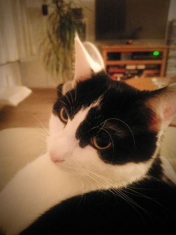 The cat on my lap Pets One Animal Domestic Animals Domestic Cat Animal Themes Close-up No People Cat