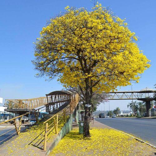 Toda a criação grita glória! Yellow Estradas Ipê Ipeamarelo Creation