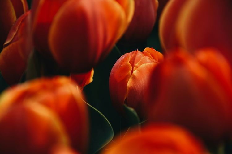 Urban Spring Fever Showcase:March Tulips Tulips🌷 Naturelovers Good Times Red Flower Perfect Hello World 植物 Beautiful 郁金香 Take Photos Blossom Spring Flowers Photography Plants EyeEm Best Shots Photooftheday