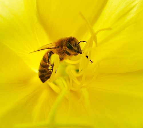 Flowerporn Swissbeauty Bee In Yellow Flower Evening Primrose Common Evening Primrose Makro Flower Bee 🐝 Bee Insect Invertebrate Flower Fragility Yellow One Animal Animal Themes Animals In The Wild Flowering Plant Petal Flower Head Beauty In Nature Freshness Close-up