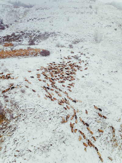 Aerial view of animals on snow covered land