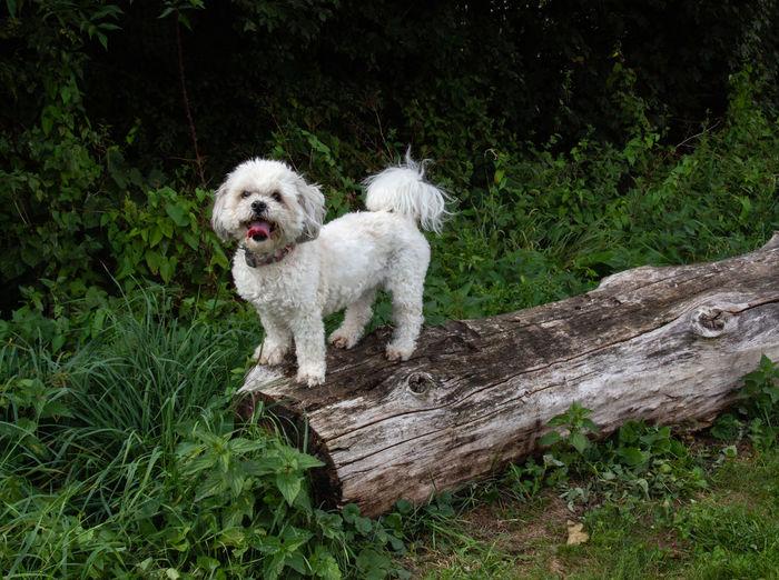 Dog Animal Canine Pets Shih Tzu One Animal Log Nature Domestic Animals
