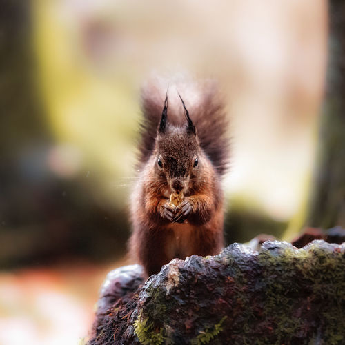 Squirrel Animal Themes Nut Outdoors Wildlife Wild Animal Wildlife Animal Animals In The Wild Mammal One Animal Rodent Focus On Foreground No People Day Vertebrate Nature Rock Solid Close-up Rock - Object Selective Focus Moss