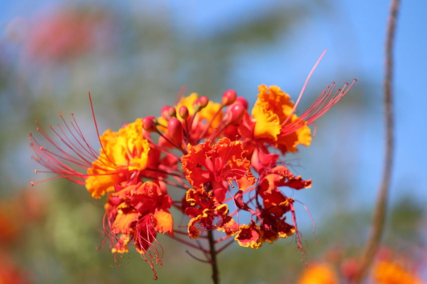 EyeEm Selects Peacock Flower Caesalpinia Pulcherrima Red Yellow Orange Color Flower Plant Nature Flower Head No People Outdoors Multi Colored Beauty In Nature Growth Day Freshness EyeEm Nature Lover Plant Beautiful Flowers Looking Up... Outdoor Photography Flower Bush Blossom Nature