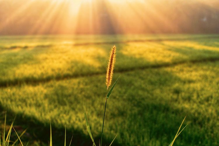 The Week on EyeEm Light And Shadow Morning Morning Light Sunlight Sunshine Sunbeam Beautiful Village Village View Village Life EyeEm Selects Growth Nature Field Plant Outdoors Beauty In Nature Grass No People Cereal Plant Flower Sky Wheat Fragility Scenics Agriculture Freshness Rural Scene Close-up Day