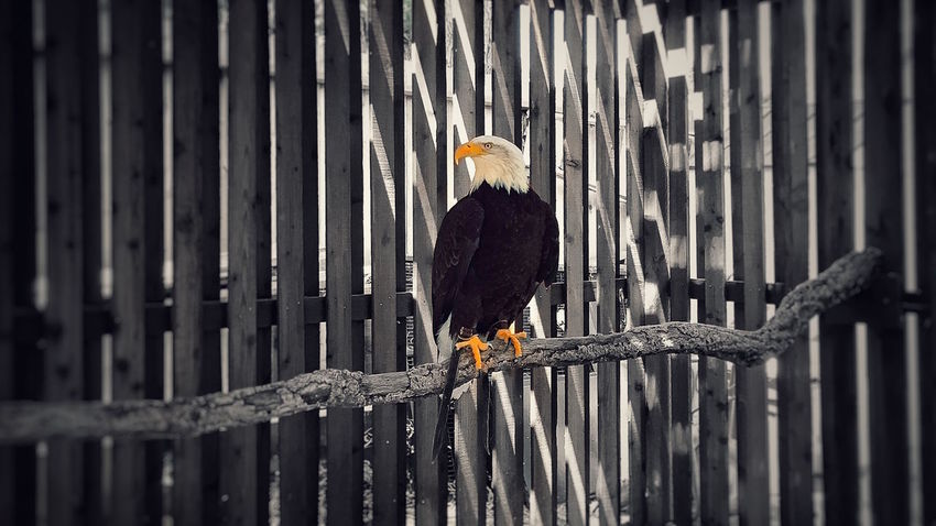 America Animal Themes Animals In The Wild Avian Bald Eagle Beauty In Nature Bird Bird Photography Eagle Fence Flying Focus On Foreground IPhoneography Light And Shadow No People One Animal Perching San Francisco Selective Focus Wildlife Wood Wood - Material Wooden Zoology Pet Portraits California Dreamin