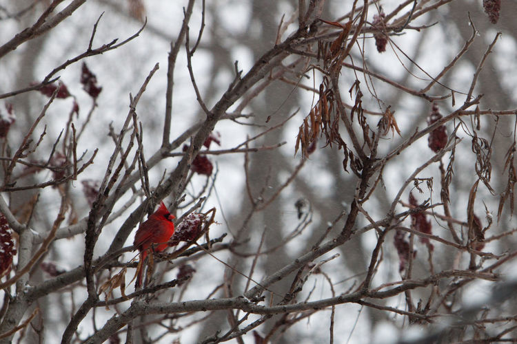 Northern cardinal perching on bare tree