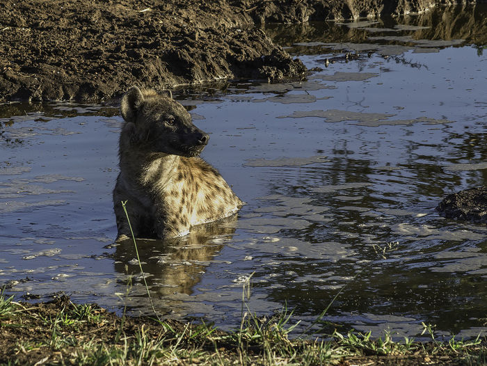 Game Drive Hyena Animal Animal Themes Animal Wildlife Animals In The Wild Day Hyena In Water Looking Mammal Nature No People One Animal Outdoors Vertebrate Water Watering Hole The Great Outdoors - 2018 EyeEm Awards