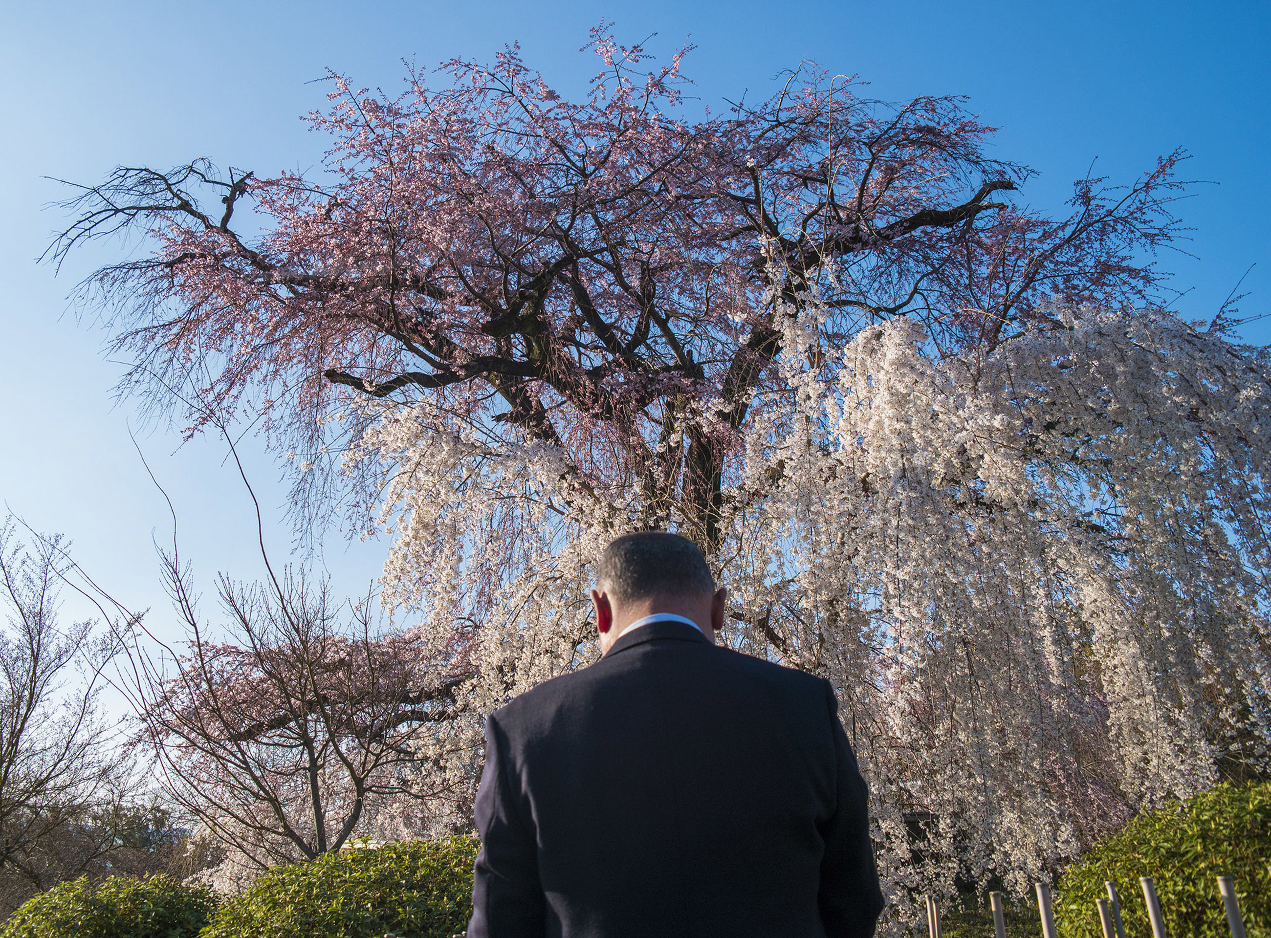 rear view, tree, plant, real people, one person, lifestyles, men, nature, leisure activity, beauty in nature, day, sky, growth, standing, flower, flowering plant, outdoors, waist up, low angle view, cherry blossom, cherry tree