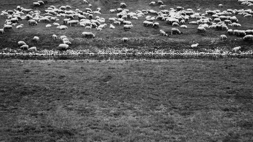 #B&W #black And White #minimalism #minimal #monochrome #minimalist #monochrome #sheep Nature No People Shadow