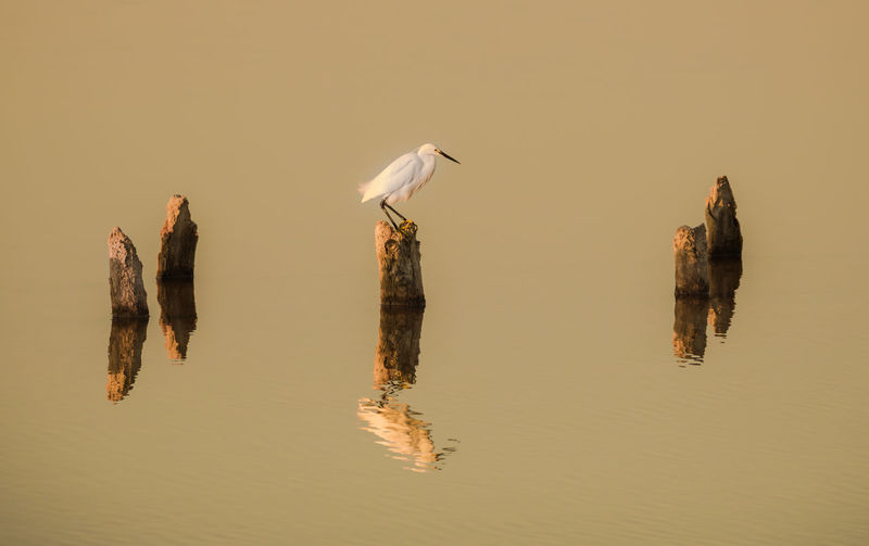 View Of White Water Bird Perching On Wooden Post In Calm Lake