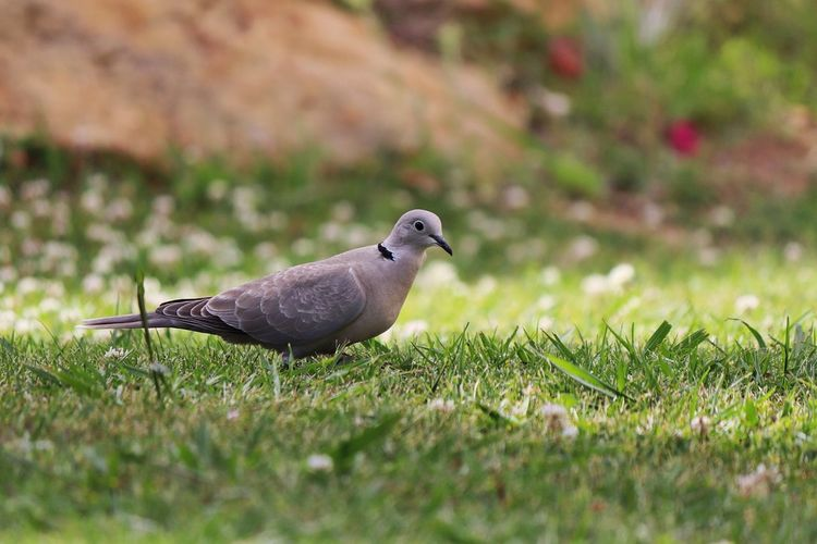 Animal Themes Animals In The Wild Bird Bird On Ground Bird On Lawn Close-up Collared Dove Day Dove Dove - Bird Dove On Ground Dove Photography Grass Grey Dove Grounded Bird Grounded Dove Mourning Dove Nature No People One Animal Outdoors Single Bird Single Dove Wild Bird Wild Bird Collection