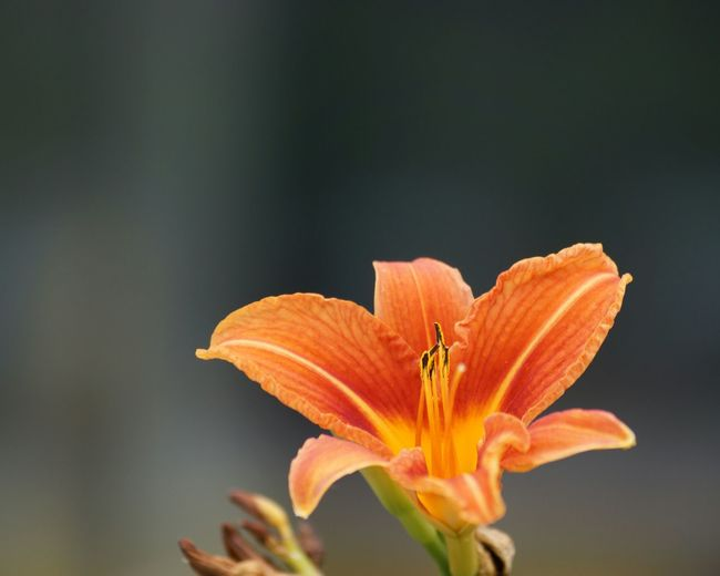 Close-up of day lily growing outdoors