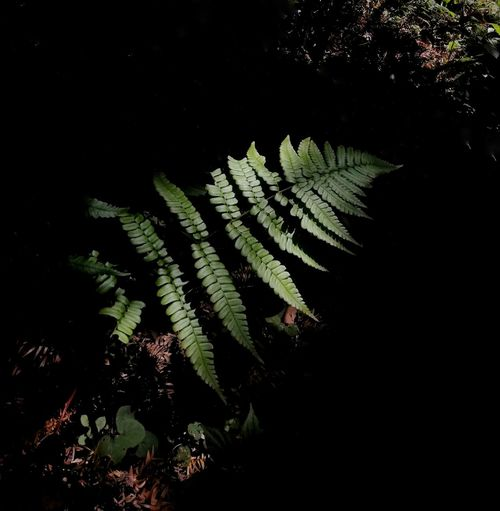 EyeEmNewHere Black Background Leaf Marijuana - Herbal Cannabis Cannabis Plant Close-up Plant Green Color Pine Tree Coniferous Tree Needle - Plant Part Lush - Description Fir Tree Pine Cone Plant Life Evergreen Tree Botany Pinaceae Treetop Pine Wood Fern Glade Frond Pine Woodland Needle Spruce Tree In Bloom