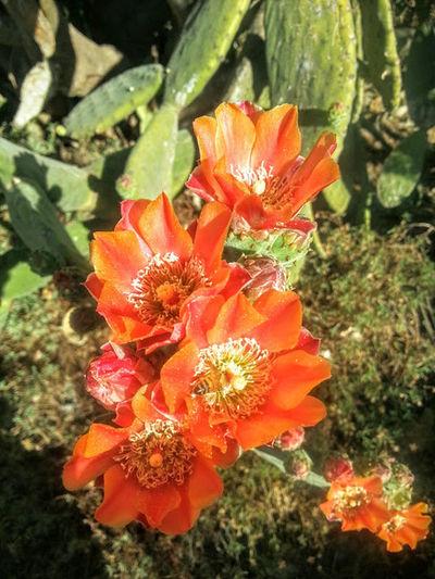 Cactus plant flowers