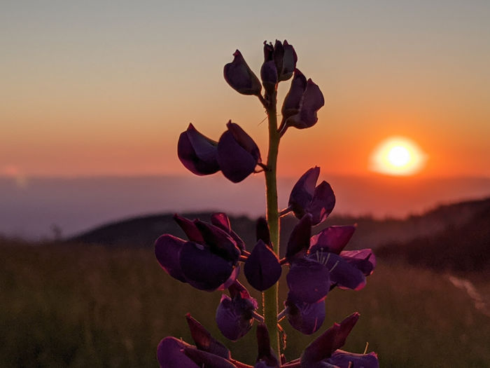 Close-up of flowering plant against sky during sunset
