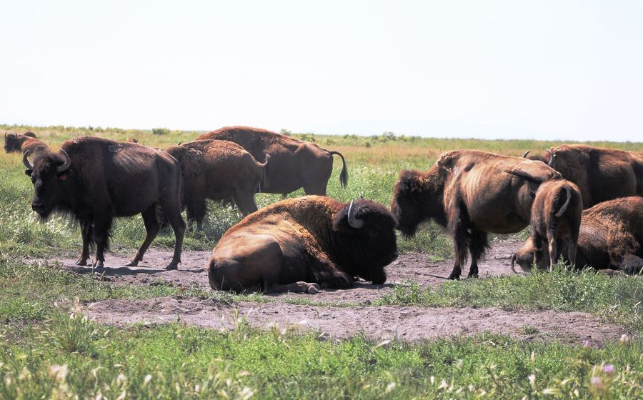 Bison Bison Herd Colorado Nature USA Animal Themes Day Grass Wildlife