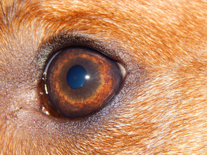 dog iris Animal Brown Eyes Canine Close-up Dog Eye Freshness Iris Labrador Looking Looking To The Other Side Pets Red Rhodesian Ridgeback Ridgeback Side View Striaght Face . Uniqueness Vision EyeEmNewHere Lieblingsteil