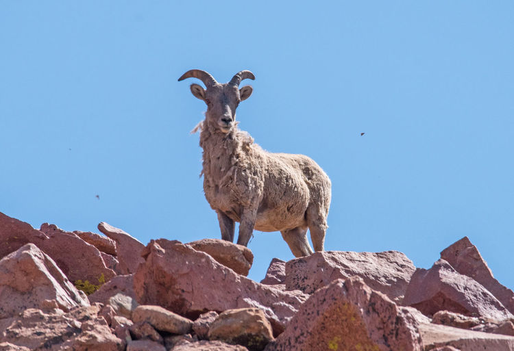 Jul 2018 - A young Big Horn Sheep surveying his territory at 13,500 feet elevation on Pikes Peak. Big Horn Sheep Animal Animal Themes Animal Wildlife Animals In The Wild Blue Clear Sky Clear Sky Summer Day Copy Space Day Herbivorous High Altitude Terrain Juvenile Sheep Low Angle View Mammal Nature No People One Animal Outdoors Rock Rock - Object Sky Solid Standing Vertebrate