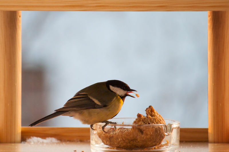Close-up of great tit feeding while perching on glass container