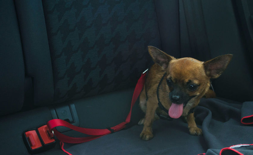 Brown chihuahua in the backseat of a car with its seat belt. safety harness