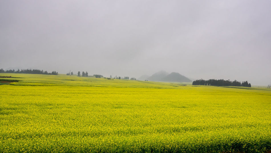 Canola field, rapeseed flower field with the mist in Luoping, China Luoping Rain Rapeseed Field Aerial View Agriculture Beauty In Nature Canola Canola Field Day Field Fog Grass Green Color Growth Hill Landscape Mist Mountain Mountain Range Nature No People Outdoors Rapeseed Oil Rapeseed Yellow Tadaa Rural Scene Scenics Sky Tourism Tranquil Scene Tranquility Tree Village