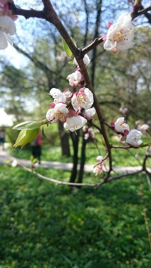 Growth Nature Tree Beauty In Nature Branch Fragility Flower Close-up Springtime Outdoors No People Day Freshness Pink Color Blossom Flower Head Plum Blossom Nature Природа цветы сакура весна