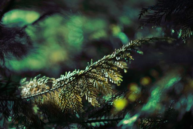 Green Yellow Plant Plant Plants 🌱 Pine Tree Branch Sunlight Outdoor Secretskys