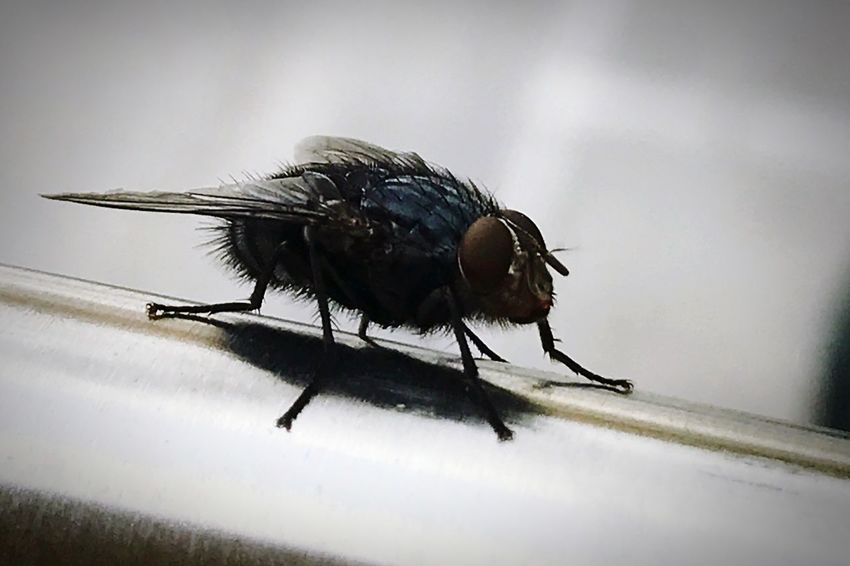 Insect Animal Themes One Animal Animals In The Wild Animal Wildlife Close-up No People Day Outdoors Nature Zzz Mosca