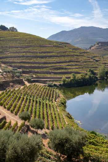 Douro valley vineyards in rivebank terraces Agriculture Beauty In Nature Cloud - Sky Day Environment Field Green Color Growth Land Landscape Mountain Nature No People Outdoors Plant Plantation Rural Scene Scenics - Nature Sky Tranquil Scene Tranquility Tree