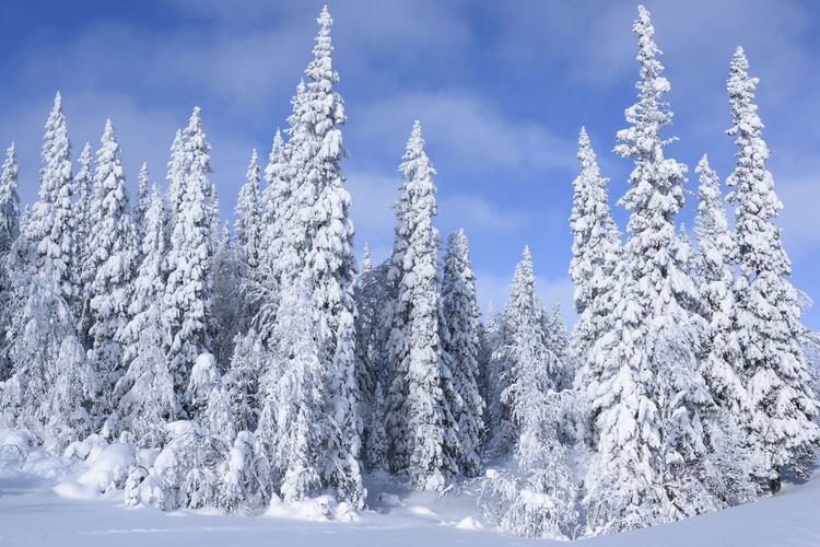 Frozen trees against sky