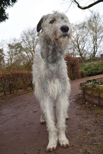 Animal Themes One Animal Pets Domestic Animals Tree Outdoors Dog Petscorner Take A Walk In The Park Cearnaigh Portrait Looking At Camera Irish Wolfhound Dogslife Dogs Of EyeEm Dog Of The Day Dogwalk Dogs Of Winter February 2017 Winter 2017 Showcase February 2017 Close-up