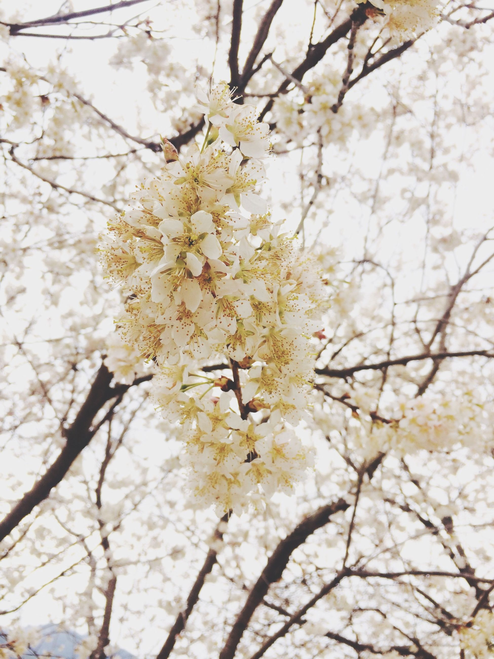 flower, branch, tree, growth, freshness, low angle view, cherry blossom, beauty in nature, fragility, blossom, nature, cherry tree, springtime, in bloom, blooming, petal, season, day, outdoors, twig