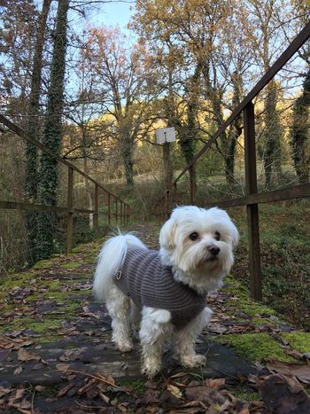 Maltese Dog Pets One Animal Domestic Animals Autumn Tree Animal Themes Mammal No People Outdoors West Highland White Terrier Leaf Full Length Day Nature Sky