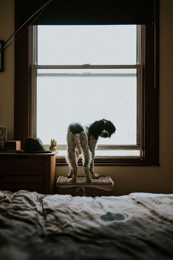 Dog standing on basket against window at home