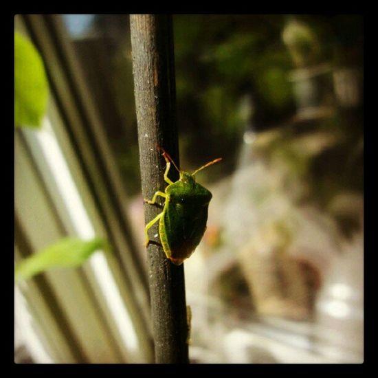 Auf der mauer auf der lauer... Wanze Bug