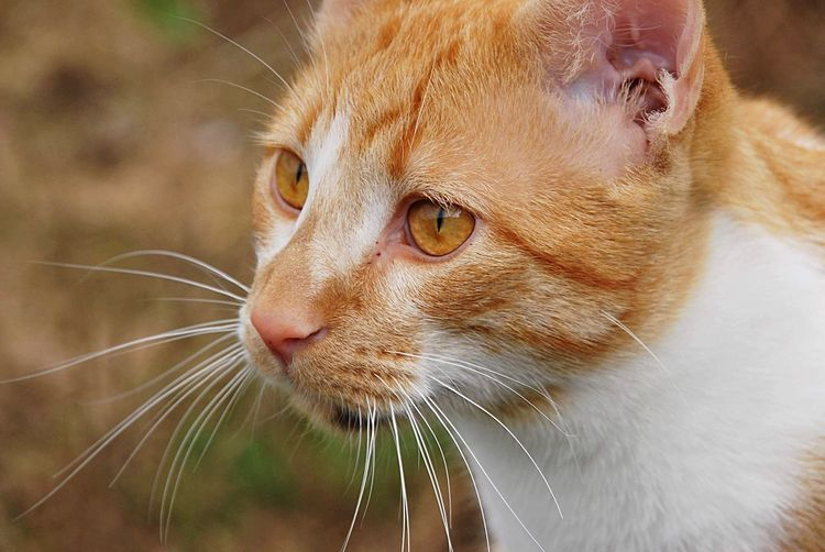 Cat portrait EyeEm Selects Animal Themes Animal One Animal Mammal Close-up Whisker Feline Cat Pets Animal Body Part Domestic Animals Focus On Foreground Vertebrate Animal Head  No People Domestic Looking Nature Outdoors Profile View
