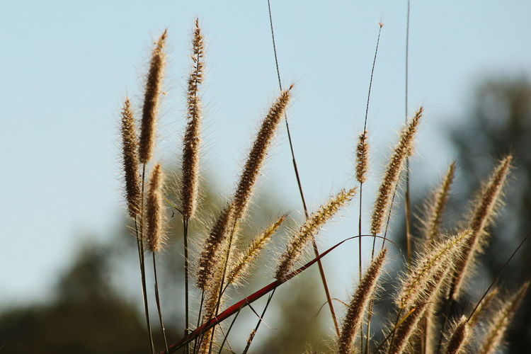 Close-up of reed growing in field against clear sky