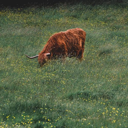 Highland Coo Highland Cow Animal Themes One Animal Mammal Vertebrate Pets Nature Field