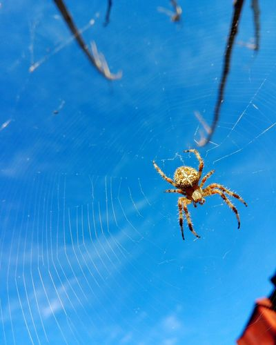 Cross Spider On Web Uppon Blue Sky Spider On Web Uppon Blue Sky Spider Uppon Blue Sky On Market Cucuveaua88 Huaweiphotography Eyeem Market Veronica Ionita Huawei Photography Veronica IONITA Photography On Eyeem Market Animal Leg Insect Spider Web Spider Close-up Arachnid Web Invertebrate Weaving