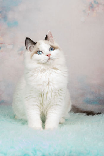 Cute ragdoll kitten sitting in a flowery background