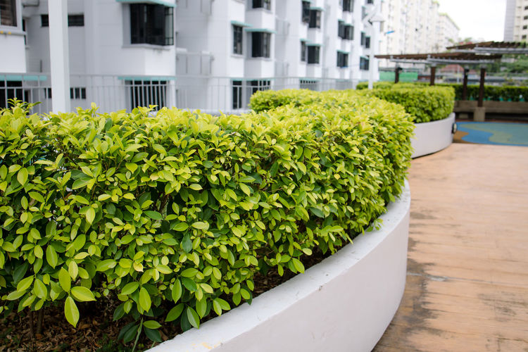 Ficus microcarpa 'Golden' Indian Laurel Fig - As a Hedge Singapore Plants Of Singapore Singapore Plants Plants Of Eyeem Green Color Hedge No People Roof Garden Day Leaf Focus On Foreground Plant Plant Part Nature Public Residential Housing