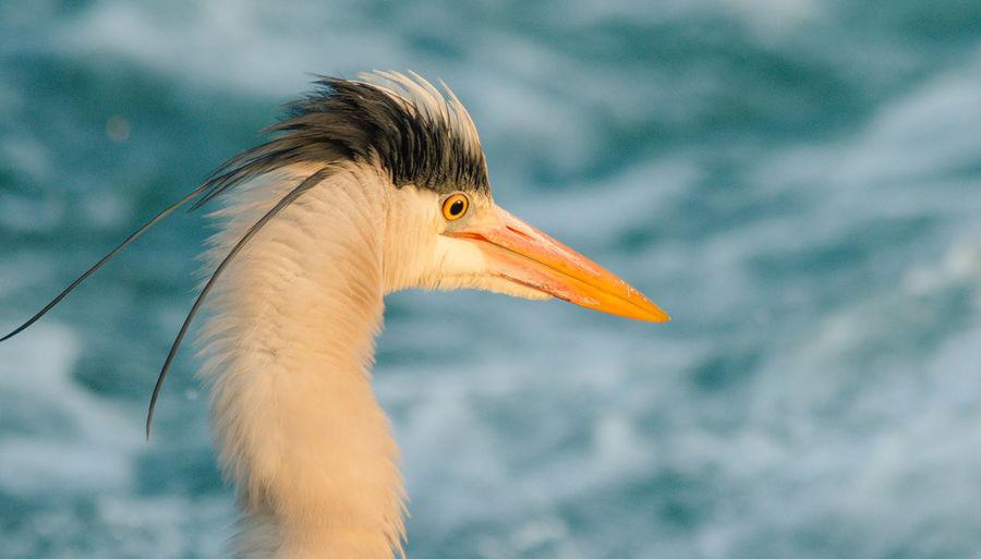 Close-up of gray heron