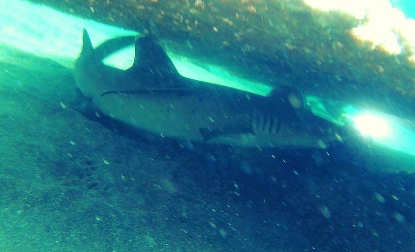 Hai Shark Amed
